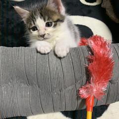 子猫/コタツ/ECO/リミアの冬暮らし/おすすめアイテム/暮らし/... 休憩子猫  ストーブからコタツに伸びてる…
