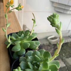 ディアウォール/花/多肉植物/DIY/小さい春 多肉達が花をつけ始めてきています  咲か…