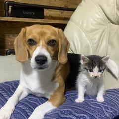 犬/ビーグル/子猫/1×4材/DIY/ニトリ/... カメラ目線な犬  並んで座ってくれるよう…