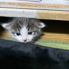 猫のいる暮らし/子猫/ネコ/暮らし/フォロー大歓迎 棚の下から顔出してる猫  棚の木がガリガ…