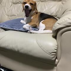 あくび/LIMIAペット同好会/フォロー大歓迎/ペット/犬 可愛いショットを撮りたくて  携帯を犬に…