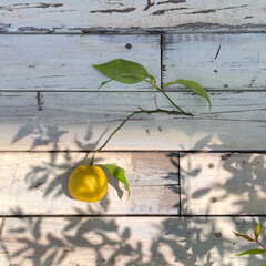 ガーデニング 庭にでたらなんと! 柚子を収穫♡  時…(1枚目)