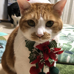 ペット/猫/にゃんこ同好会/クリスマス/100均 #ペットは家族💕 #ミクサンタ 毎年お利…