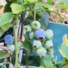 おうちじかん/ブルーベリーの木 うちのブルベリーが、もう色づいてきた…💦…