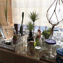 空き瓶/植物/キッチン/夏 雑貨/手作り/セリア/... 窓辺に寄せ集められた空き瓶に、サボテン、…