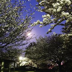 お花見/桜/春 月と桜で🍶(笑)