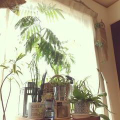 エバーフレッシュ/観葉植物/窓辺/リビング/グリーン/雑貨/... 去年買ったエバーフレッシュ 暖かくなって…
