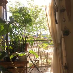 窓辺/リビング/西日/エバーフレッシュ/アオダモ/観葉植物/... 狭い庭ですが… 以前作って2年ほど前に撤…