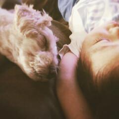 ありがとう/大切な家族/マルプー/愛犬/寝顔/IKEAソファー/... 我が家の愛犬マルプーのラテ 去年の夏 9…(1枚目)