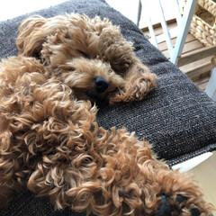 お化け?/お決まりポーズ/お昼寝/トイプードル/春のフォト投稿キャンペーン/ペット/... 我が家の愛犬💕ccino🐻  最近のお昼…