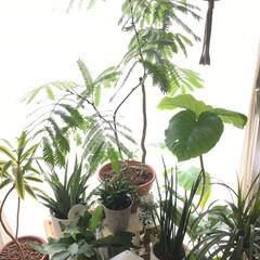 ギューギュー/窓際/グリーンのある暮らし/エバーフレッシュ/ウンベラータ/グリーン/... 西の窓辺の緑… フサフサと混み合ったエバ…(1枚目)