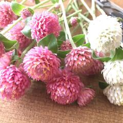 ドライ作り/千日紅 先日買ってきた千日紅の苗木 少しお花を頂…