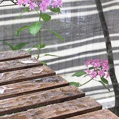 雨/紫陽花/庭/梅雨 今日は 朝から雨☂️梅雨突入です😞 シト…(1枚目)