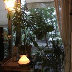 時期外れ/ワインケース/観葉植物/グリーン/アロマディフューザー/窓際/... 我が家のリビングは 夕方 薄暗くなってく…