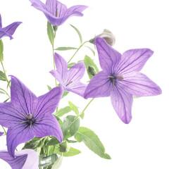 思い出/満開/切り花/桔梗/庭/住まい 今朝 庭の水やり時に 満開に近いくらい咲…