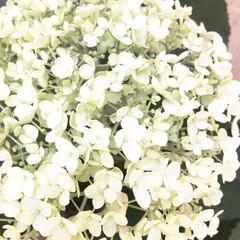 花/開花/庭/地植え/あじさい/紫陽花/... 去年の母の日に貰った【アナベル】 花が終…