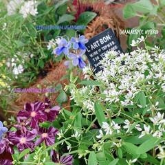 ベランダ緑化/インテリアグリーン/植中毒/マンションベランダ/ベランダガーデニング/ベランダガーデン/... 夏のベランダ  長い梅雨でお花が少なくな…(2枚目)