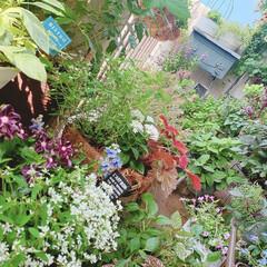 ベランダ緑化/インテリアグリーン/植中毒/マンションベランダ/ベランダガーデニング/ベランダガーデン/... 夏のベランダ  長い梅雨でお花が少なくな…