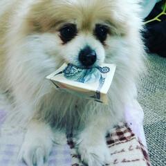 ポメラニアン/おやつ/お金/交換/いたずらっ子/お札 1,000円札くわえて おやつを買いにい…