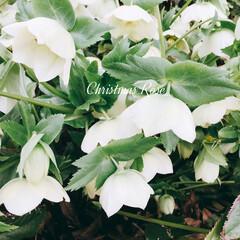 クリスマスローズ 職場の片隅に咲いていた  クリスマスロー…