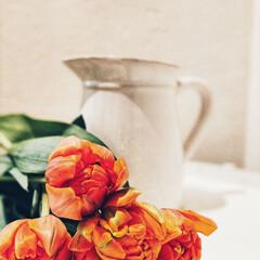 花の写真/花が好き/ビタミンカラー/花のある暮らし/チューリップ/暮らし 今年はこれでチューリップは終わりかな… …