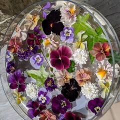 穏やかな暮らし/玄関ポーチ/庭の花/フローティングフラワー/ビオラ/ガーデニング/... お家のビオラ達をフローティングフラワーに…(2枚目)