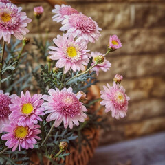 ナチュラルガーデン/花のある暮らし/マーガレット/ガーデニング/暮らし 淡い色のマーガレット。