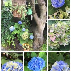 梅雨/ボタニカル/雑貨/住まい 紫陽花ちやん いろんな色に少しずつ変わっ…