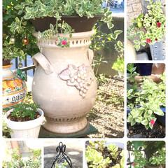 ボタニカル/雑貨/住まい/ハンドメイド 庭のベビーローズちゃん😊いくつかの鉢から…