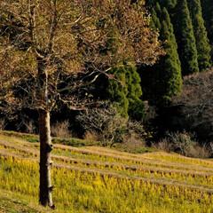 冬/田園/千枚田/大山/大山千枚田 柔らかい冬の光のなかに 一本の木  千葉…