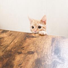 猫との暮らし/猫/マンチカン/フォロー大歓迎/LIMIAペット同好会/にゃんこ同好会/... ひょっこり  gm〜