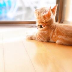 マンチカン/猫写真/暮らし/フォロー大歓迎/LIMIAペット同好会/にゃんこ同好会/... 癒しの愛猫♡ 何見てるんだろう