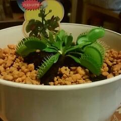はえとりちゃん💕/食虫植物 広告の品の5色唐辛子を買いに行ったのに、…