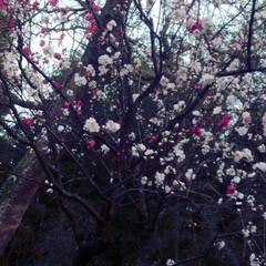 四季 通勤途中で見かける梅なのかな?毎年綺麗に…