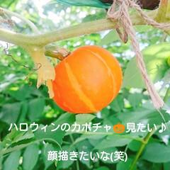 かぼちゃ/ハロウィン 我が家のカボチャ🎃   ミニカボチャ! …