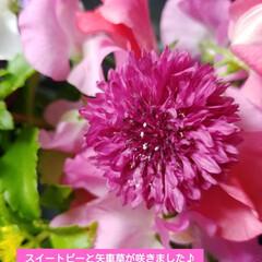 矢車草/スイートピー/良い香り/種まき/ガーデニング 種から育てたスイートピーと矢車草が咲いた…
