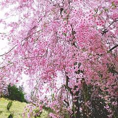 ピンク/桜/おでかけ/垂れ桜/優しい色 優しい色の桜🌸 本当に癒されました。 あ…