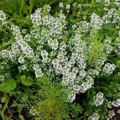 庭園/香りのハーブ/タイム/グラウンドカバー/ハーブ 我が家の庭に植えている、 タイムの花が満…