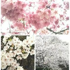 桜🌸/春爛漫/グリーン
