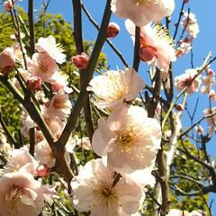 梅苑/梅/花/春/おでかけ 凄く良い香りでした☺️