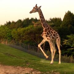 大分県/アフリカンサファリ/はじめてフォト投稿/GW/旅行/わたしのGW 夕方のアフリカンサファリでの動物さんたち…