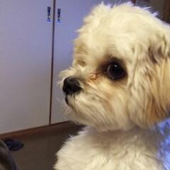 犬/わんこ同好会/うちの子ベストショット/マルキャバ おうちでカット&シャンプーしてもらいまし…(1枚目)