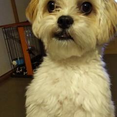 犬/わんこ同好会/うちの子ベストショット/マルキャバ おうちでカット&シャンプーしてもらいまし…(2枚目)