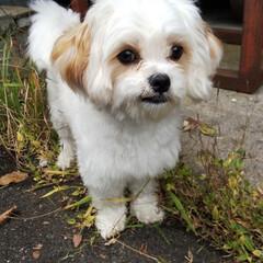 ミックス犬/マルキャバ/バーベキュー/犬 稲刈り&バーベキューに行ってきました。 (2枚目)