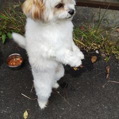 ミックス犬/マルキャバ/バーベキュー/犬 稲刈り&バーベキューに行ってきました。 (1枚目)