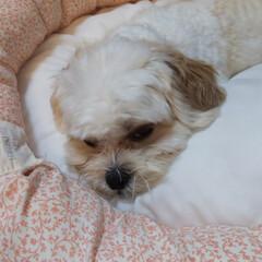 犬/わんこ同好会/マルキャバ 今日も暑かった おやすみなさい(2枚目)