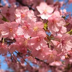 春休み/サクラ/LIMIAおでかけ部/おでかけ/風景 お友達からサクラの写真が届きました(*´…