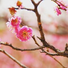 春近し/梅/風景 春が来ると花粉が気になりますが…😅 早く…