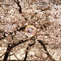 シャボン玉/中目黒/桜 誰かが飛ばしたシャボン玉🎵 よーく見ると…