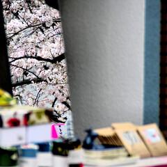 目黒川/桜/風景 露店の鏡に閉じこめられた桜🌸